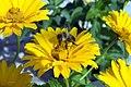 Heliopsis helianthoides var. scabra Summer Sun 4zz.jpg