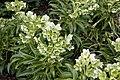 Helleborus argutifolius at RHS Garden Hyde Hall, Essex, England 02.jpg
