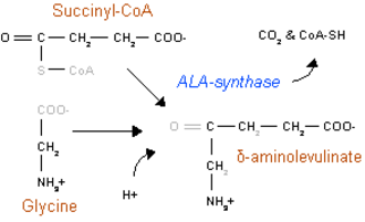 Aminolevulinic acid synthase - Heme synthesis