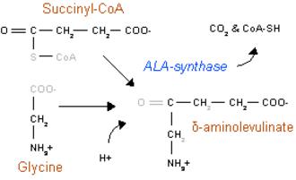Aminolevulinic acid synthase - Heme synthesis