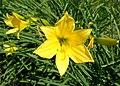 Hemerocallis lilioasphodelus kz04.jpg