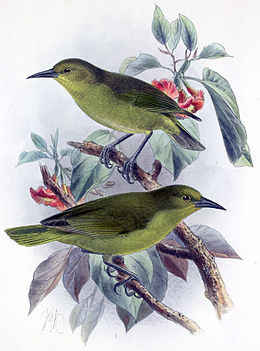 Hemignathus sagittirostris