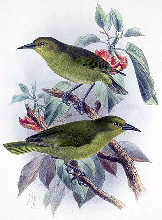 Greater ʻamakihi - Illustration by John Gerrard Keulemans.