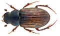 Heptaulacus carinatus Germar 1824 (31158473590).png