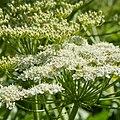 Heracleum mantegazzianum-IMG 0917.jpg