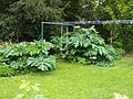 Heracleum mantegazzianum leaves playground.jpg