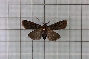 Hermonassa (moth) - Hermonassa formontana