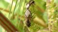 Heterogaster urticae (cópula).png