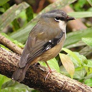 Heteromyias - Grey-headed robin (Heteromyias cinereifrons)