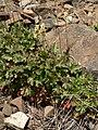 Heuchera cylindrica 15550.JPG