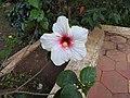 Hibiscus rosa sinensis hybrid-24-hanuman temple-muluvi-yercaud-salem-India.jpg