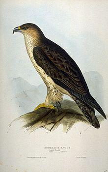 Lithographie de l'aigle de Bonelli.