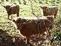 Highland cows, Easton - geograph.org.uk - 77110.jpg