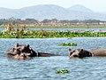 Hippo. Lake Naivasha National Park - panoramio.jpg