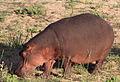 Hippopotamus study (sequence) at Kruger National Park (12156768446).jpg