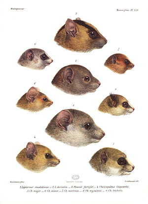 Fork-marked lemur - In 1897, Alfred Grandidier demonstrated the similarities between Lepilemur (middle column, bottom two) and the cheirogaleids, particularly Phaner (middle, top).