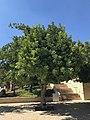 Holy Land Pilgrimage 2017 P090 Yad Vashem Irena Sendlerowa Tree.jpg