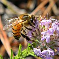 Honey Bee & Wild Pennyroyal (16121735267).jpg