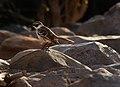 Hood mockingbird (4201808671).jpg
