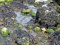 Horned or Estuary Wrack (Fucus ceranoides) and other fucoid seaweeds, Fairlie, Ayrshire.jpg
