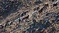 Horse Altai 03.jpg
