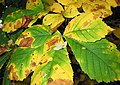 Horse Chestnut leaves changing colour - geograph.org.uk - 583453.jpg