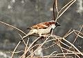 House Sparrow Passer domesticus male by Raju Kasambe DSCN2160 (1) 14.jpg