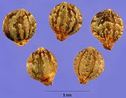 sementes de Humulus japonicus