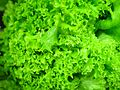 Hydroponic lettuce leaves green.jpg