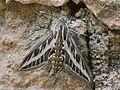 Hyles livornica1.jpg