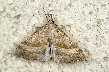 Hypena proboscidalis, Lodz(Poland)02(js).jpg