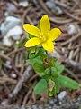 Hypericum humifusum sl16.jpg