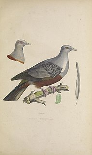 Spotted imperial pigeon Species of bird