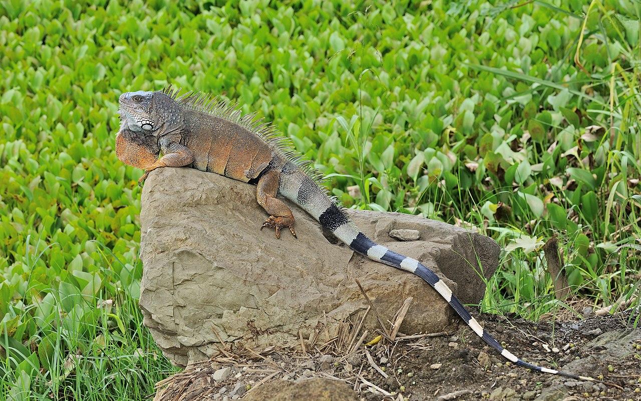 1280px-Iguana_iguana_Portoviejo_01.jpg