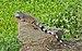 Iguana iguana Portoviejo 01.jpg