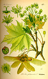 Illustration Acer platanoides0