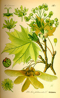 Illustration Acer platanoides0