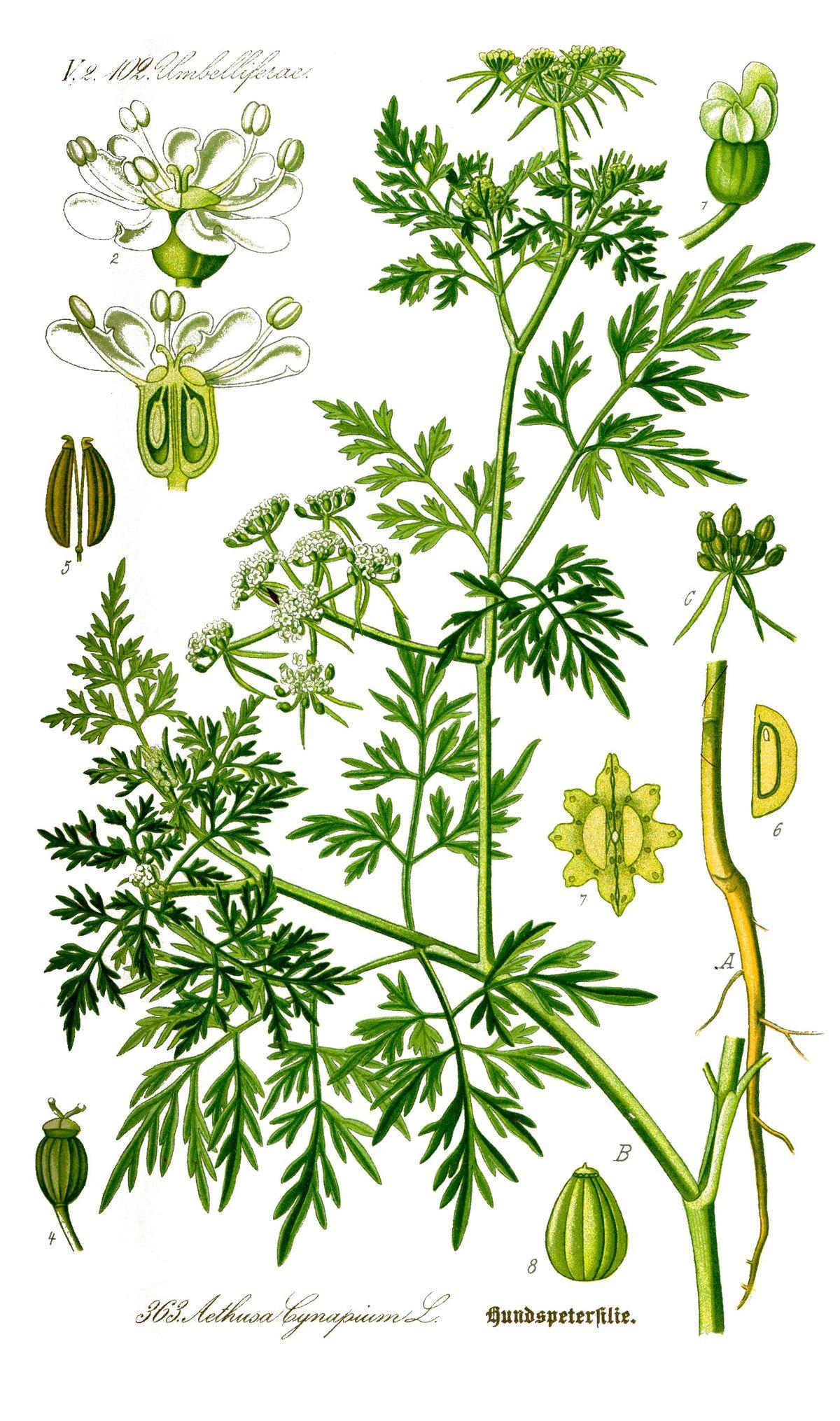 Hukanputki – Wikipedia