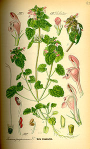 Illustration of Red deadnettle, Lamium purpureum.