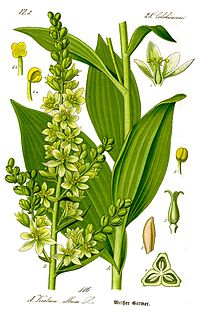 Illustration Veratrum album0 clean.jpg