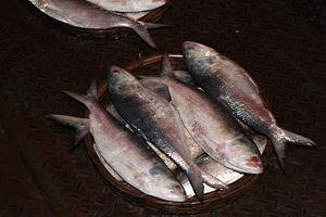 Ilsha fish.JPG