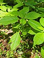 Impatiens parviflora Niecierpek drobnokwiatowy 2020-07-02 01.jpg
