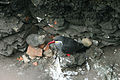 Inca Tern with chick (Larosterna inca) (4856307305).jpg