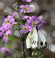 Indian Cabbage White, collecting Nectar from the flowers.JPG