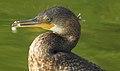 Indian Cormorant Phalacrocorax fuscicollis by Dr. Raju Kasambe DSCN4996 (1).jpg