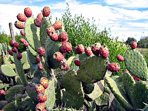 Villa Guerrero Vegetation: Prickly pear cactus