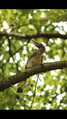 Indian Grey hornbill.png