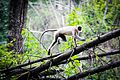 Indian Monkey of Nagarhole.jpg