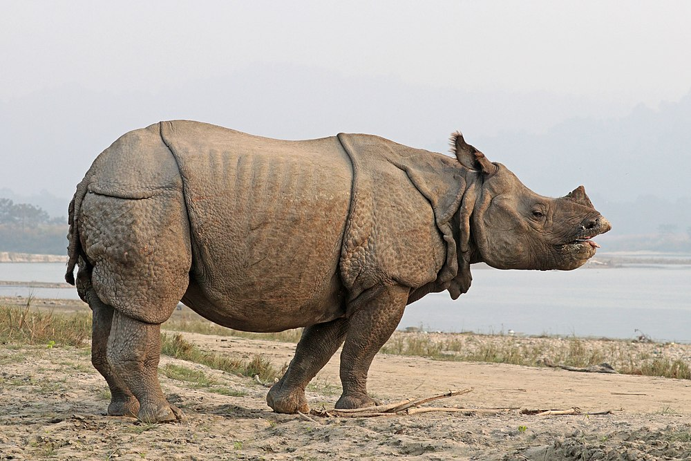 The average litter size of a Indian rhinoceros is 1