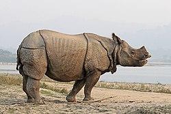 Indian rhinoceros (Rhinoceros unicornis) 4.jpg